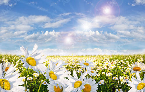 Fridge magnet Springtime: field of daisy flowers with blue sky and clouds