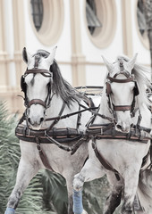 potrait of wonderful carriage white horses in movement,  Spain