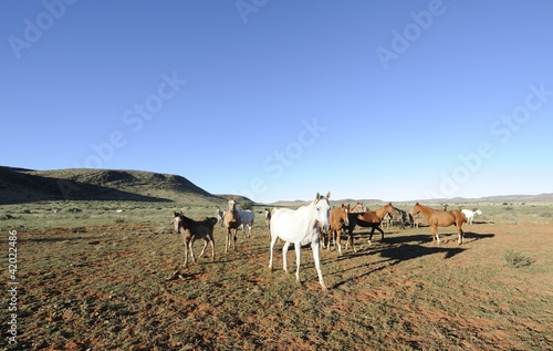 Arabian Horses brood herd