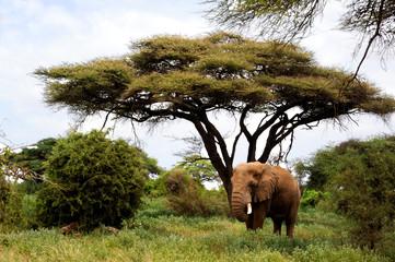 African elephants in Masai Mara near the tree