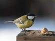 Great Tit (Parus major) on the feeder.