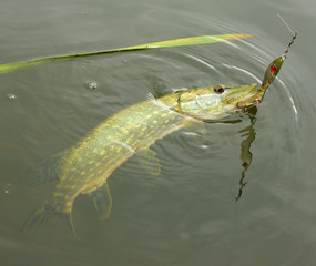 The Pike on a spinner bait.