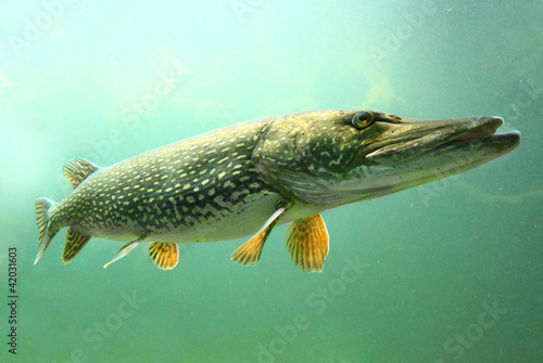 Underwater photo of a big Pike (Esox Lucius). - 42031603