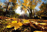 Fototapety Fall autumn park. Falling leaves in a sunny day