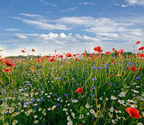 Frühlingswiese mit Margeriten, Kornblumen und Klatschmohn