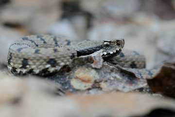 Vipera aspis francisciredi through dry leaves