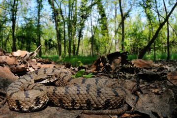 Redi's viper in its plain wood habitat