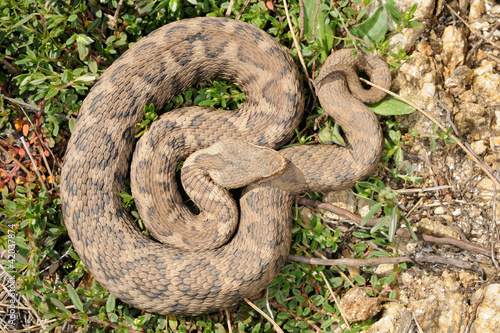Vipera aspis hugyi - female pattern