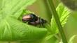 Gartenlaubkäfer - Phyllopertha horticola - balzen