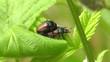 Gartenlaubkäfer - Phyllopertha horticola - Paarungsakt