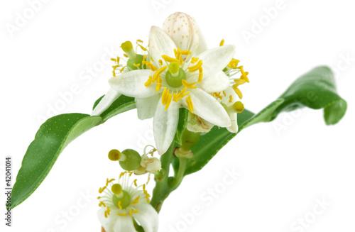 fleur d'agrume