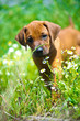 Rhodesian ridgeback puppy in a field