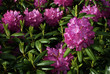 Garden rhododendron. Pretty, purple and pink.
