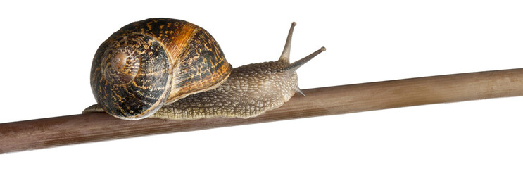 Garden Snail, Helix aspersa, on branch against white background