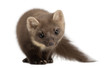 European Pine Marten or pine marten, Martes martes, 4 years old