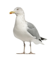 European Herring Gull, Larus argentatus, 4 years old