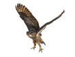 Eurasian Eagle-Owl, Bubo bubo, 15 years old, flying