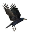 Rook, Corvus frugilegus, 3 years old, flying
