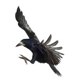 Rook, Corvus frugilegus, 3 years old, flying