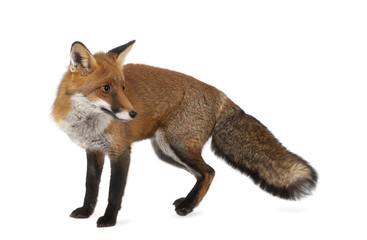 Red fox, Vulpes vulpes, 4 years old, standing