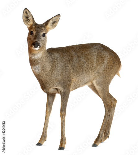Deurstickers Hert European Roe Deer, Capreolus capreolus, 3 years old