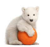 Polar bear cub, Ursus maritimus, 3 months old, playing with ball