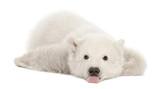 Polar bear cub, Ursus maritimus, 3 months old