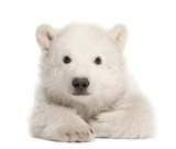 Polar bear cub, Ursus maritimus, 3 months old, lying - 42045647