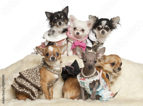 Chihuahua puppies and adults in clothing sitting
