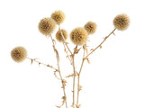 Dried prickly plant isolated on the white
