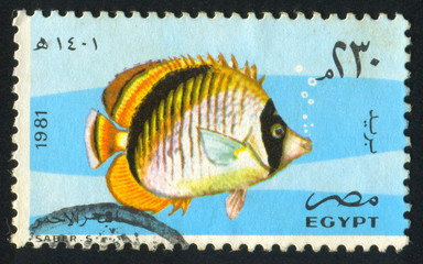 Lined butterfly fish