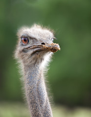 Head of  ostrich emu close up..