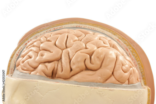 Human brain, photo of anatomical mannequin