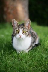 Domestic tabby cat in the garden