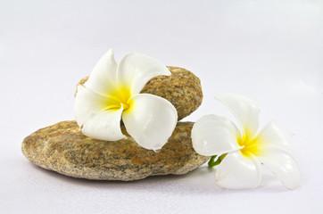 Tropical flower Plumeria alba (White Frangipani) on the rock