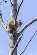 eurasian red squirrel, sciurus vulgaris