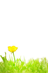 Buttercup isolated on white