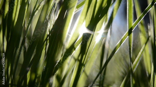 Sunlight Glinting Through Summer Grass