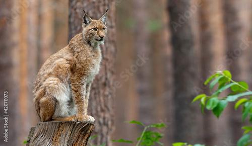 Staande foto Lynx Luchs