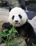 giant panda eating bamboo leaves