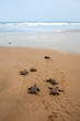 Loggerhead sea turtle emergence