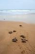 Leinwandbild Motiv Loggerhead sea turtle emergence