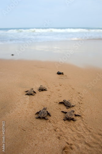 Foto op Canvas Schildpad Loggerhead sea turtle emergence