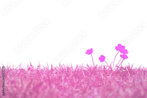 Pink buttercups isolated on white