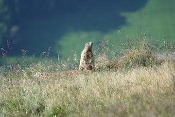 La marmottina