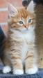 Gattino siberiano rosso