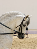 Closeup of A beautiful white stallion