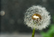 Dandelion on defocused background