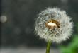 Dandelion on defocused background