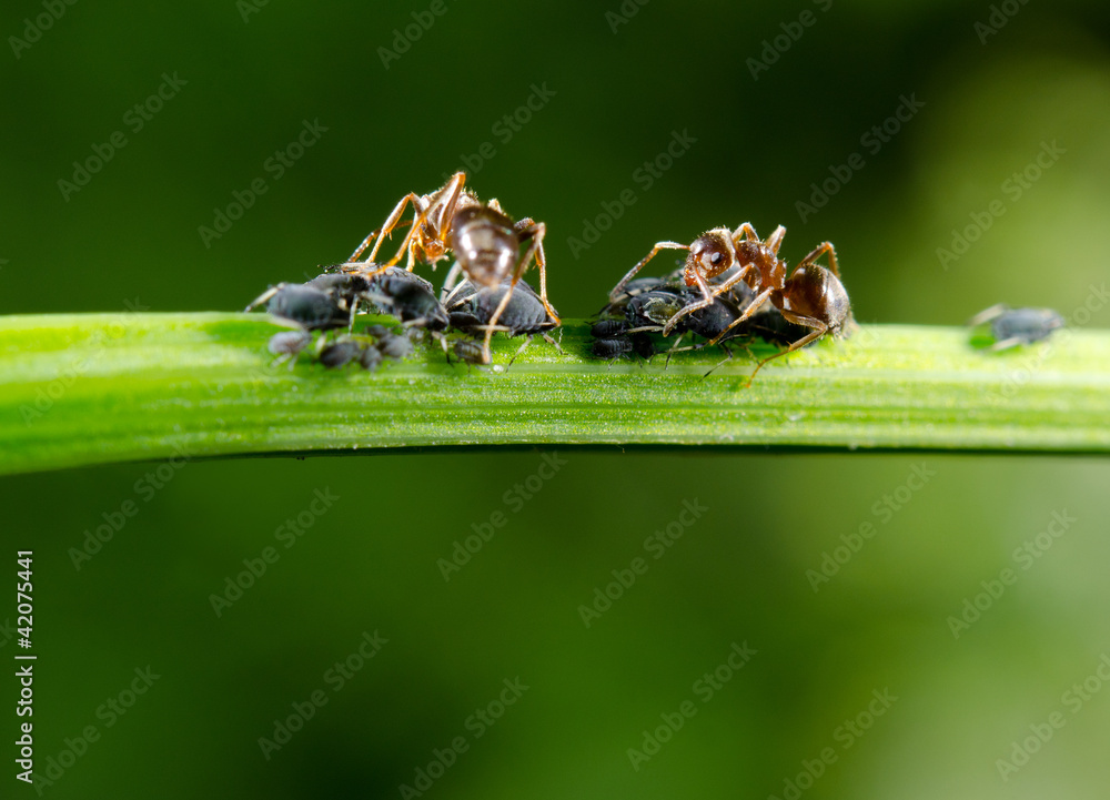 ameisen melken blattl use fototapety owady robaki i paj czaki. Black Bedroom Furniture Sets. Home Design Ideas